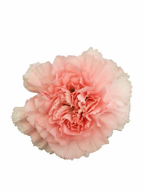 pink carnations  bulk metropolitan wholesale