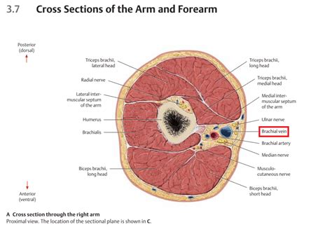 cross section of arm human anatomy cross section through the right arm