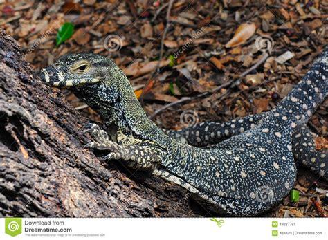 House Design Plans Australia lace monitor lace goanna varanus varius lizard stock