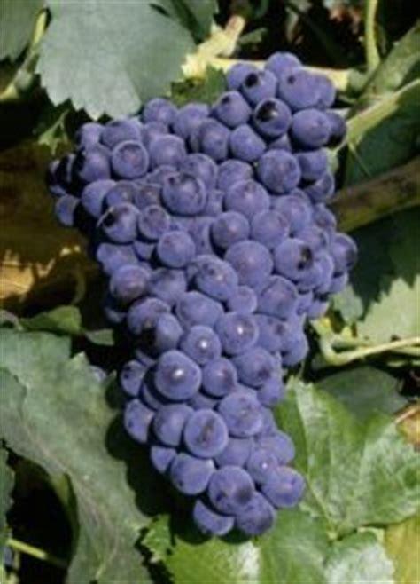 imagenes uva garnacha garnacha peluda en diccionariodelvino com