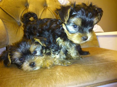 4 week yorkie puppy tiny puppy puppies photo pictures to like or on book covers