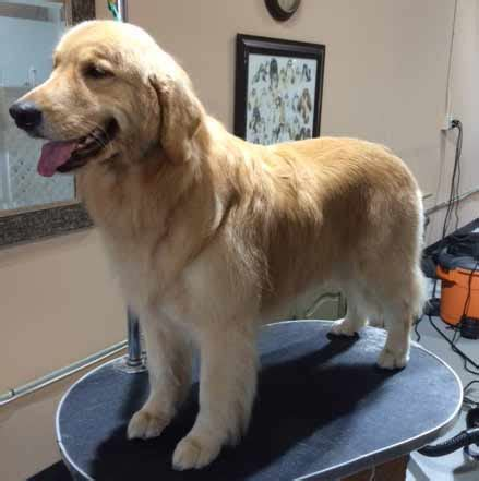golden retriever groomers golden retrievers and grooming photo