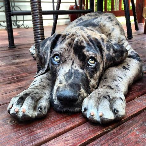 Danes Has A New by Great Dane Puppy Hound Dogs Puppies
