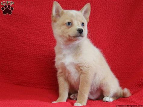 pomsky puppies for sale in pa 17 best images about pomsky on welcome home warm and wisteria