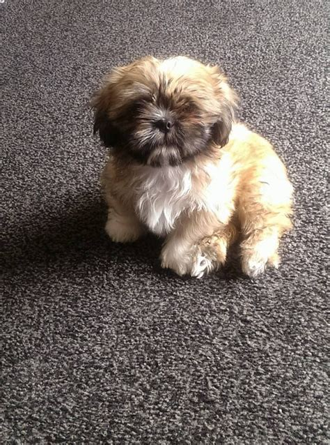 3 week shih tzu puppies shih tzu puppy 12 weeks nottingham nottinghamshire pets4homes