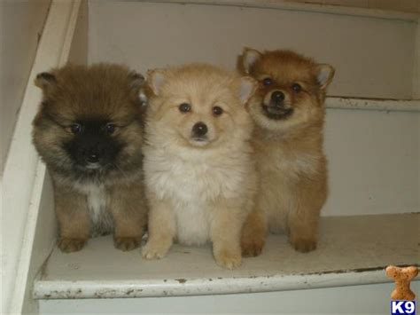 maltese pomeranian cross 3 4 pomeranian cross 1 4 maltese puppies 31350