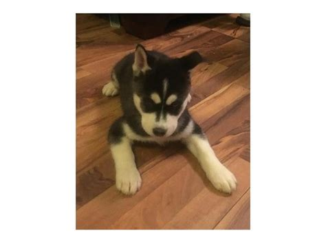 husky puppies for sale in ri siberian husky puppies for a happy home animals barrington rhode island
