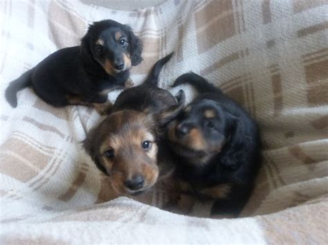 miniature dachshund puppies for sale haired miniature dachshund puppies for sale york pets4homes