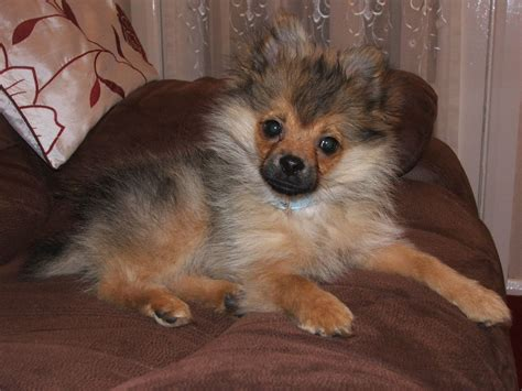 pomeranian puppies for sale glasgow lovely pomeranian pup for sale glasgow lanarkshire pets4homes
