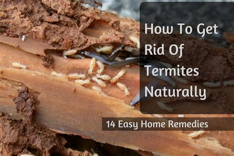 how to get rid of termites with wings in house how to get rid of termites naturally 14 easy home remedies