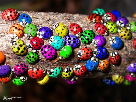 colors of ladybugs real ladybugs colors