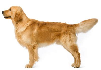 average weight of golden retrievers average weight 3 month golden retriever dogs in our photo