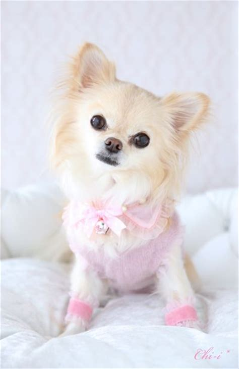 pomeranian shih tzu mix cost 10 best images about shichi on chihuahuas shih tzu mix and chihuahua dogs