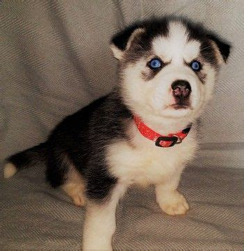puppies for sale in battle creek mi get 20 siberian husky for sale ideas on without signing up huskies for