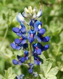 bluebonnet flower pictures meanings of bluebonnet flowers