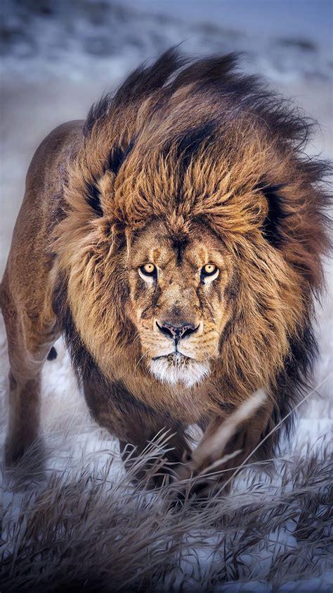 wallpaper iphone lion lion iphone wallpaper 79 images
