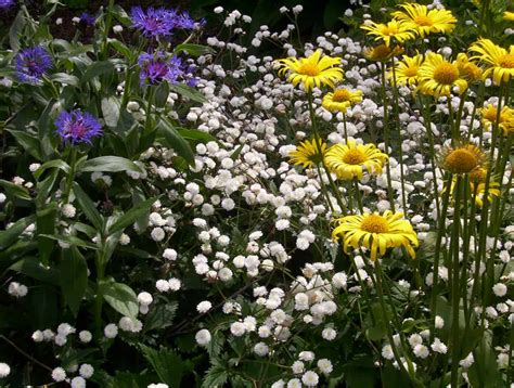 grow babys breath gardening channel