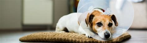 do dogs get spayed or neutered spaying and neutering mclean animal hospital