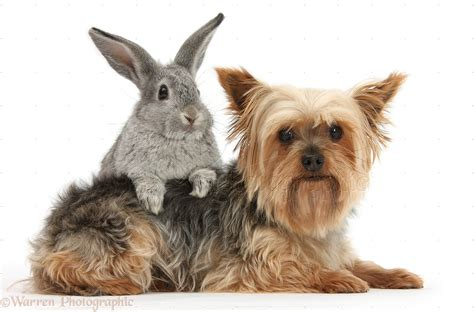 silver yorkie silver and gold terrier breeds picture