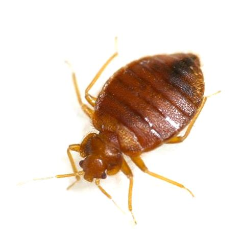 Image Bed Bug by Pest Bed Bugs Gogreen Pest