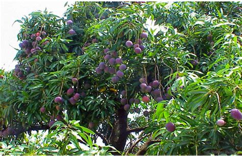 compost for fruit trees the highest fruit on the tree nov 13 2016