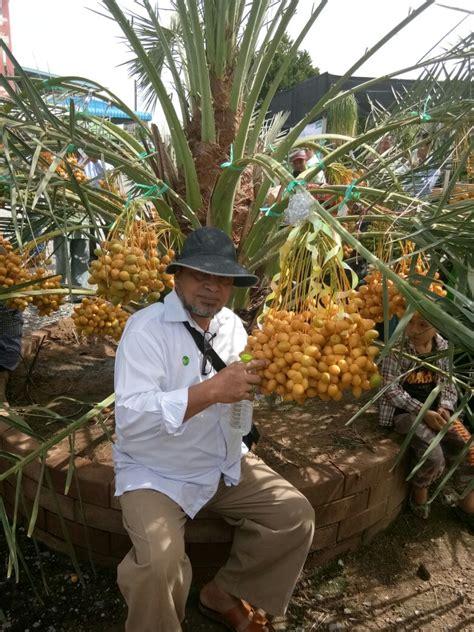 bibit tanaman buah kurma tropis barhee perbanyakan