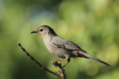 backyard birds matthews nc gray catbird backyard birds the bird food store