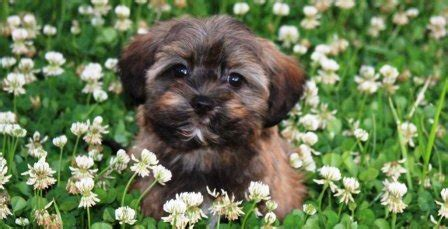 how big do havanese dogs get common questions about havanese puppies