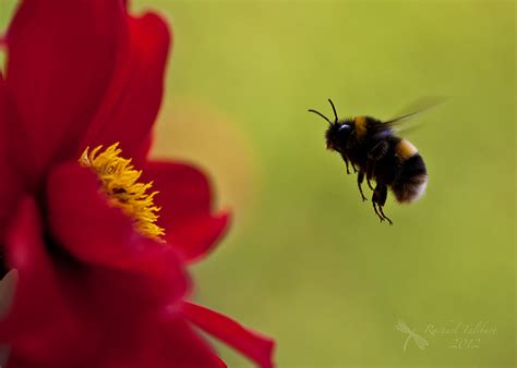 bumble bee | Focused Moments