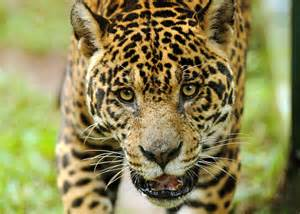 What Is A Jaguars Predator To Save A Predator A History Of Human Jaguar Conflict In