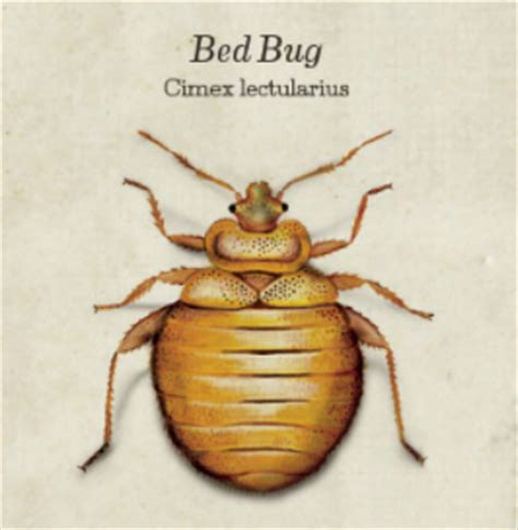 information about bed bugs are bed bugs harmful 28 images bed bugs no more