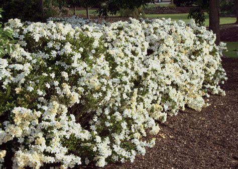 Gardenia Hedge Gardenias Bring Beautiful Smell And Look To Gardens