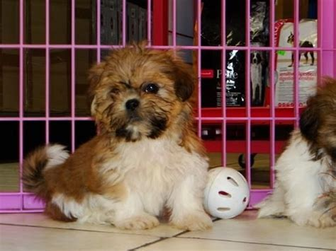 shih tzu for sale in sc 2014 mountain columbia doovi