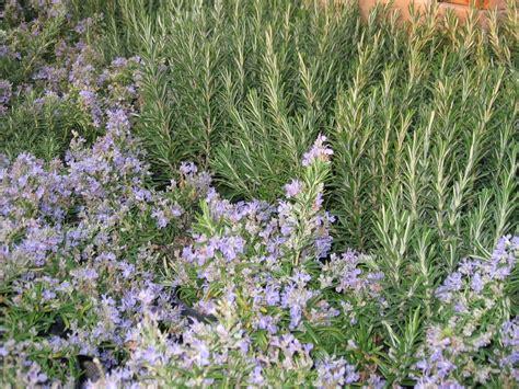 vasi viridea scegliere le aromatiche per vasi e giardino