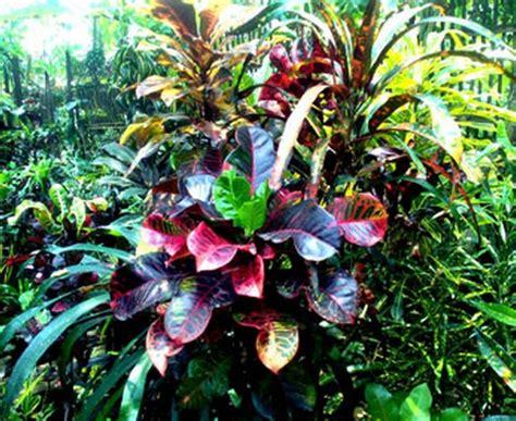 manfaat daun puring bagi kesehatan bibitbungacom