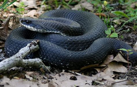 Garden Snake Nebraska Sssssnake Eastern Hognosed Flickr Photo