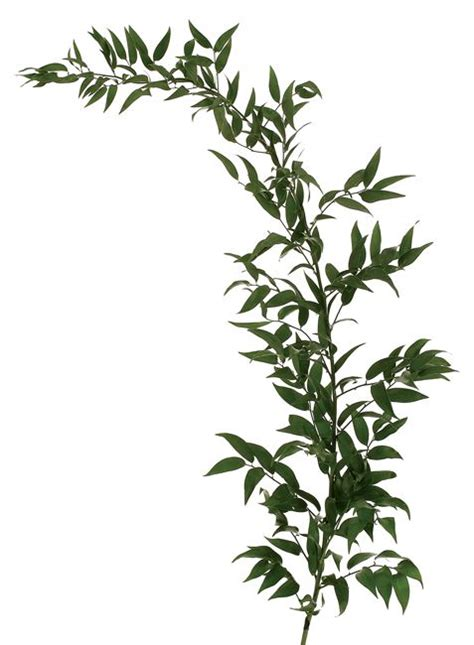 italian ruscus 1000 images about greens foliage and branches on pinterest
