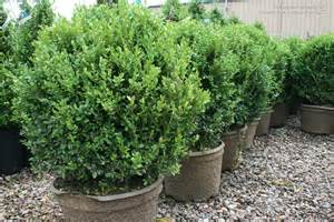 s photo gallery plants 187 shrubs evergreen