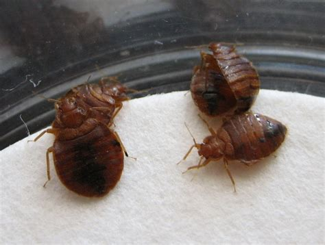 pesticides for bed bugs pesticide exempt bed bug spray offered to public after bed