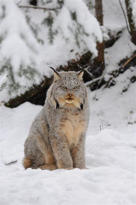 canadian snow lynx canada lynx big cats pinterest