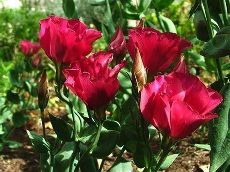 fiori lisianthus lisianthus piante da giardino lisianthus giardino