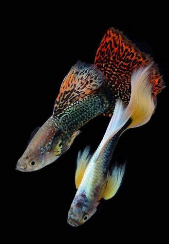 Permalink to Koi Fish Tank Youtube – MY KOI FISH TANK   YouTube