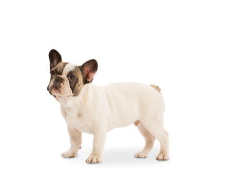 Royal Canin Bulldog Dewasa 3kg franse bulldog voer rasspecifiek hondenvoer voor franse