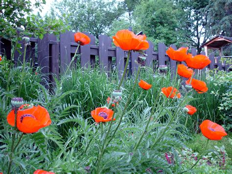 oriental poppy plants learn how to care for oriental poppies