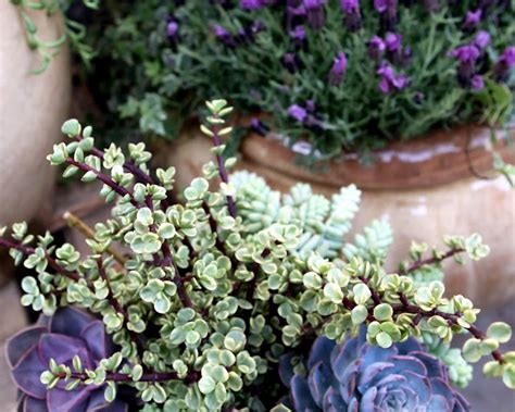 lavender container garden 77 best images about our plants containers on