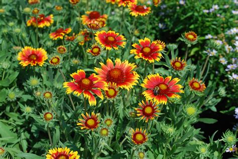 Gaillardia X Grandiflora Quot Goblin Quot Blanket Flower Flowering Garden Plants