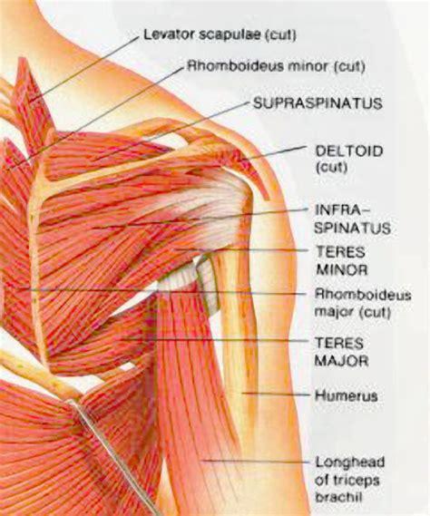 diagram of left shoulder posterior left shoulder tendon anatomy organ