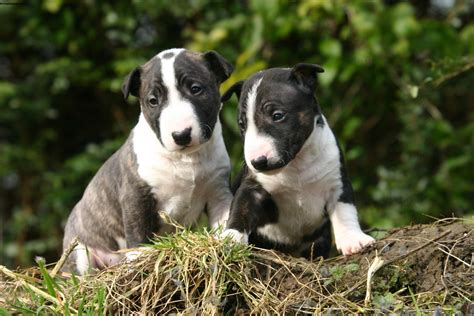 bull terrier images bull terrier wallpapers images photos pictures backgrounds