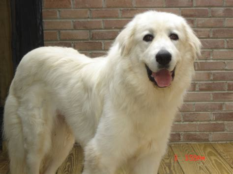 great pyrenees puppies for adoption adopt a great pyrenees find dogs for adoption breeds picture