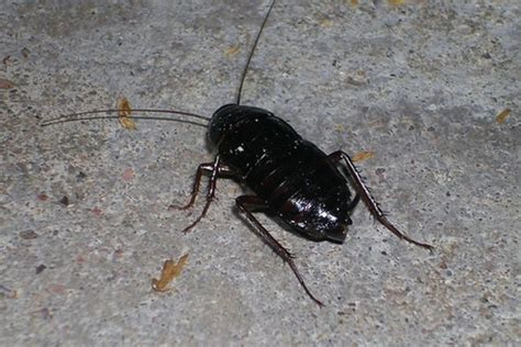 water bugs in house water bugs images reverse search
